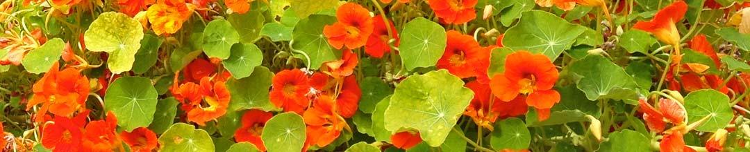 Chabot Garden Nasturtium Flowers